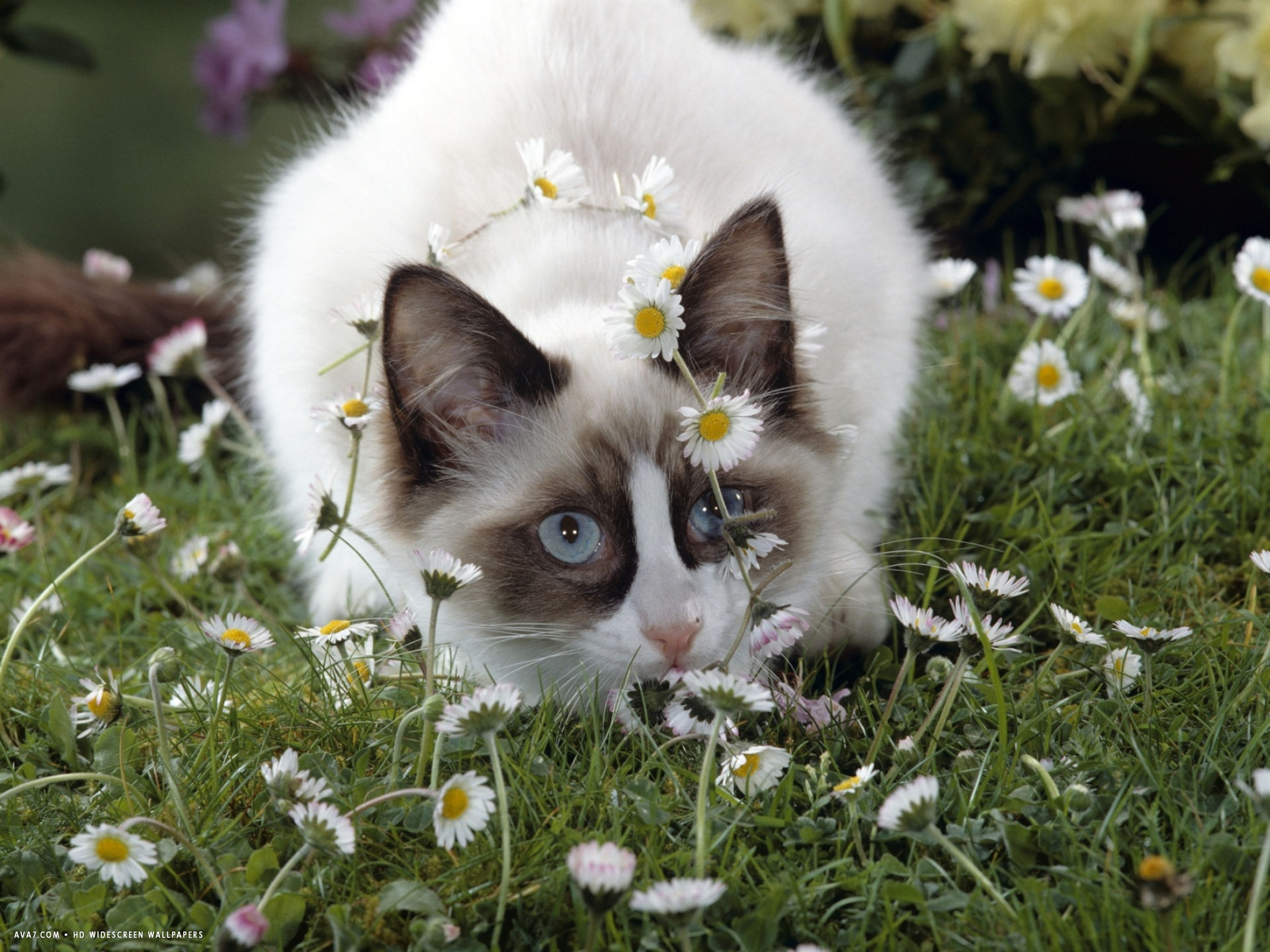 seal bicolour ragdoll kitten decked in daisy chain