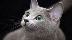 beautiful russian blue cat wallpaper