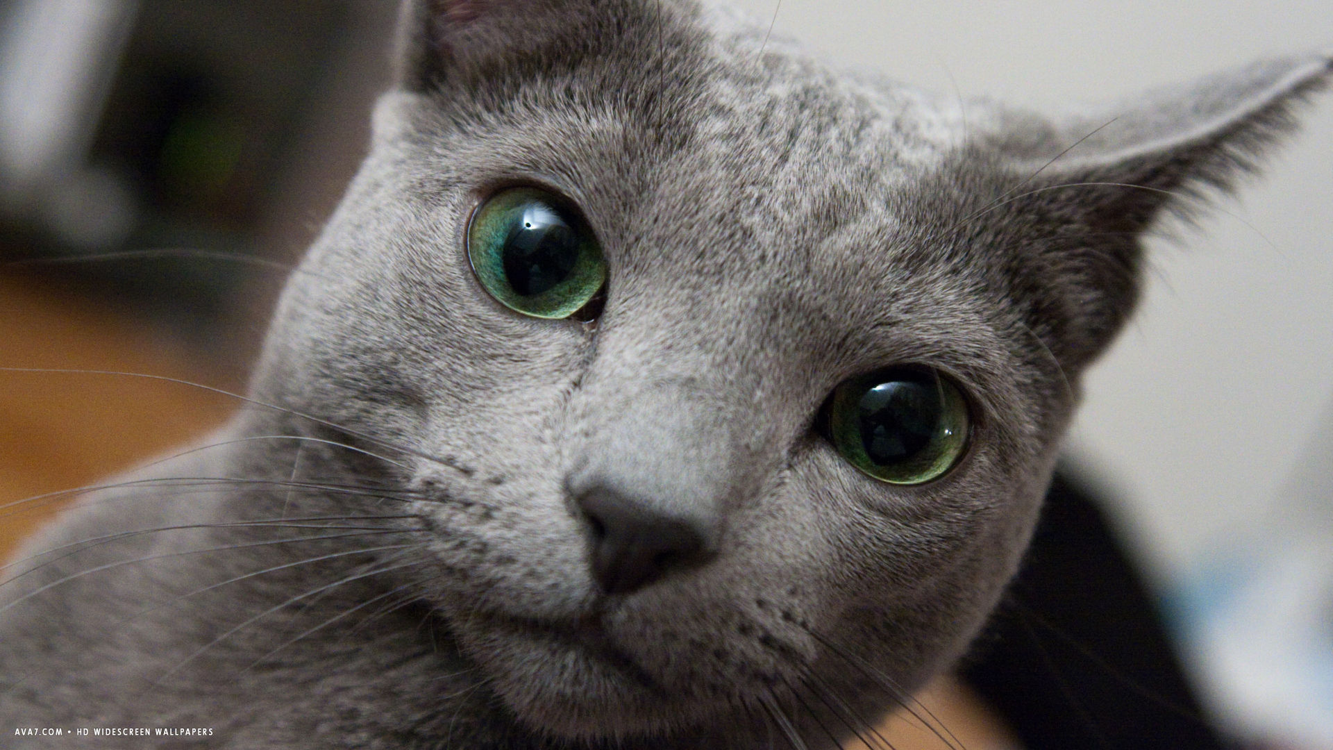 big green eyes russian blue hd