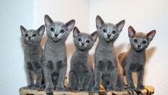 funny russian blue kittens