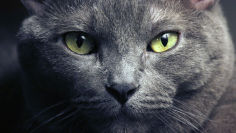 purebred russian blue hd wallpaper