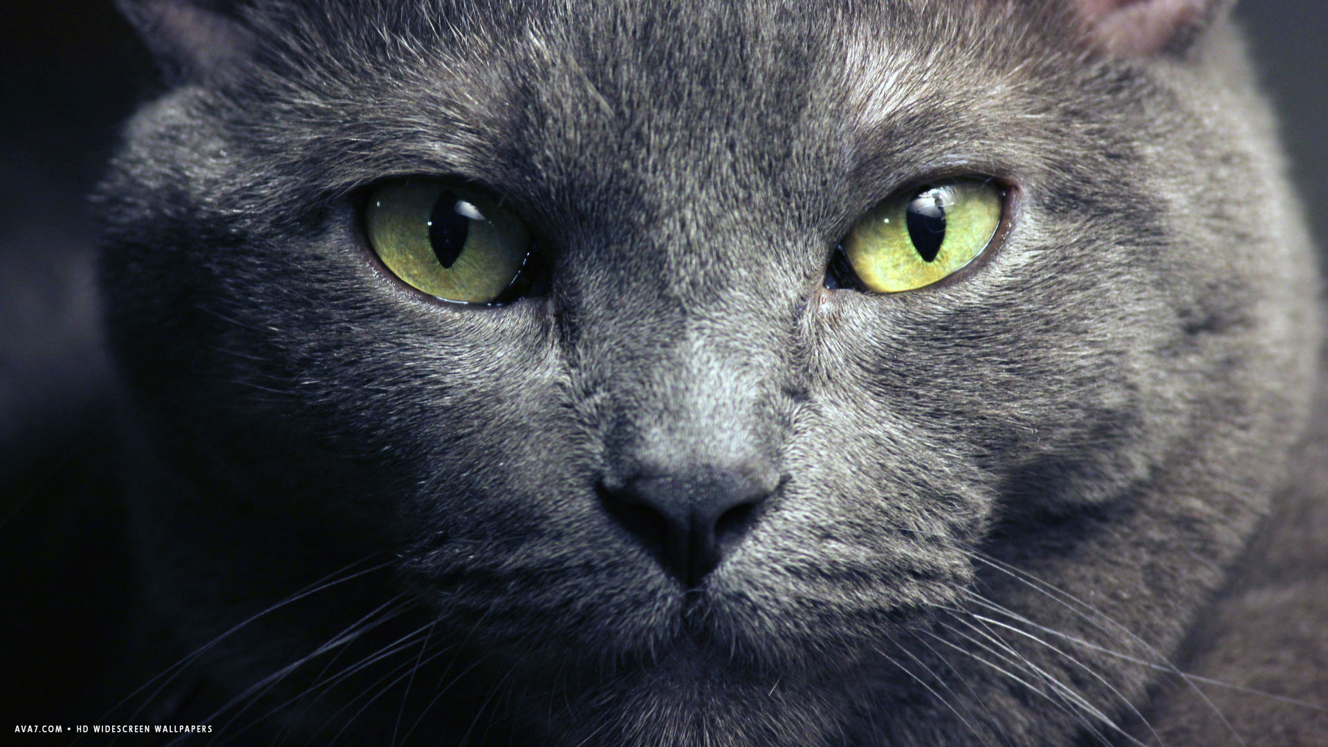 Breeder Of Russian Blue Cats