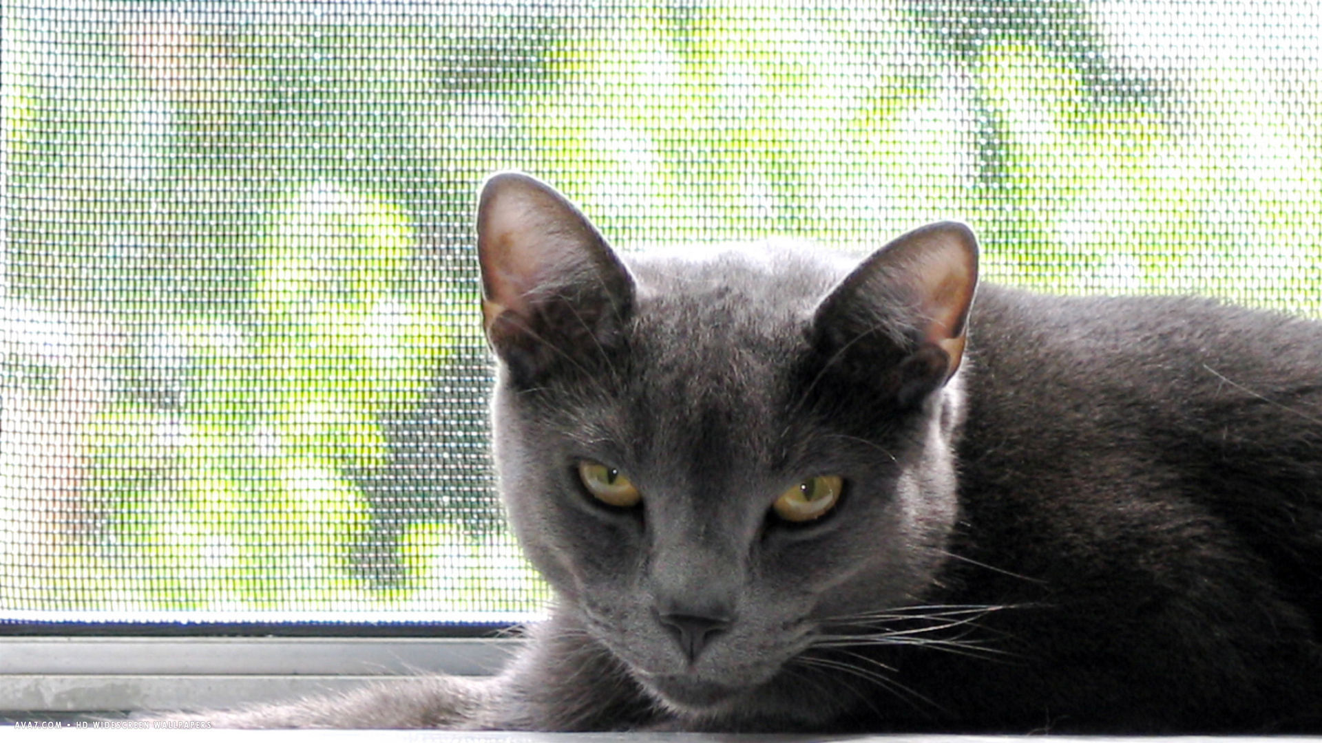 russian blue cat 1080p