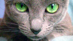 russian blue cat bright green eyes hd