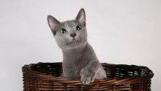 russian blue cat in wicker basket