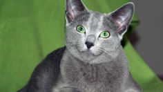 russian blue cat lying on green cloth 1920x1080