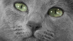 russian blue grey hair green eyes