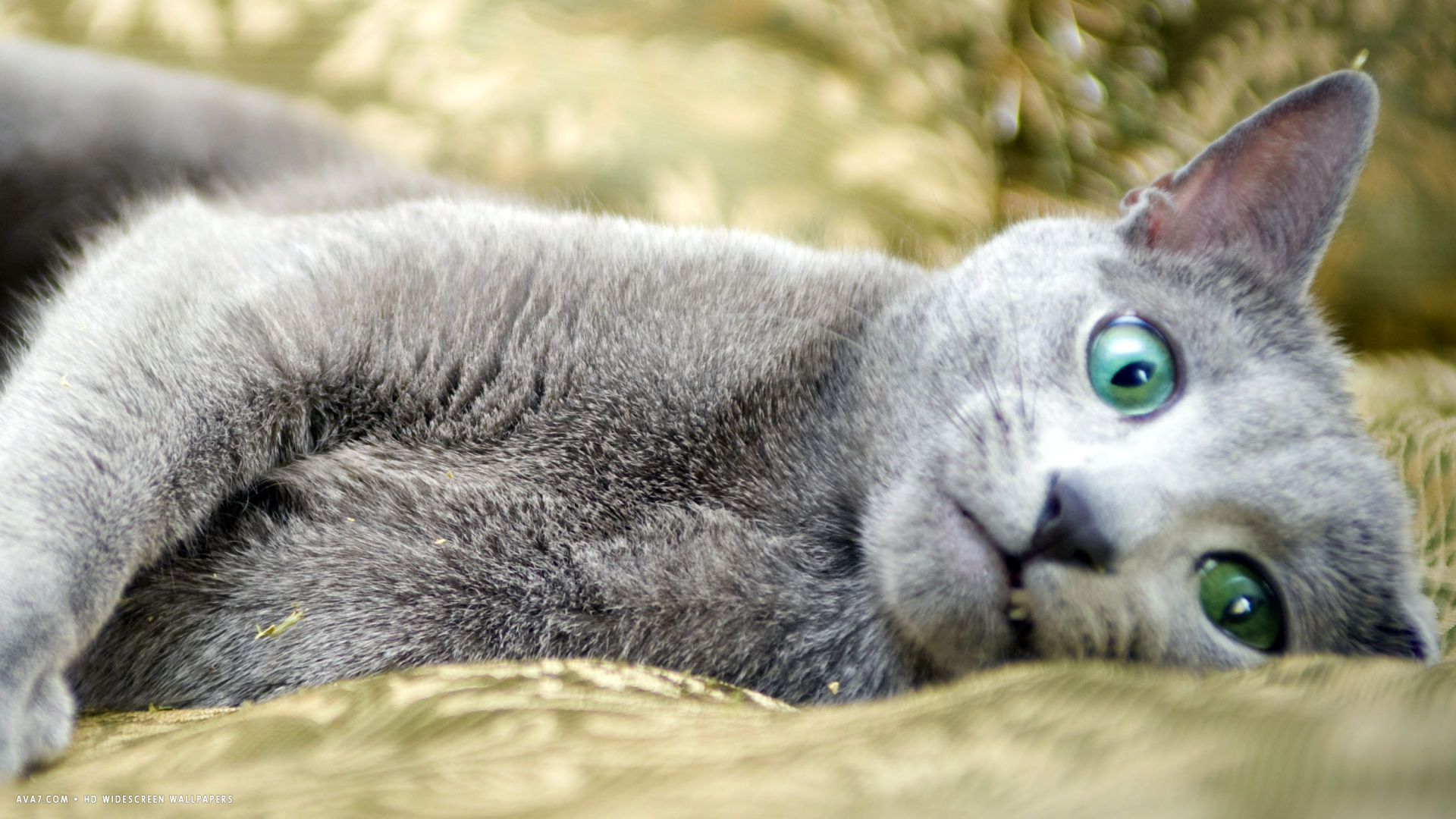 russian blue laying around
