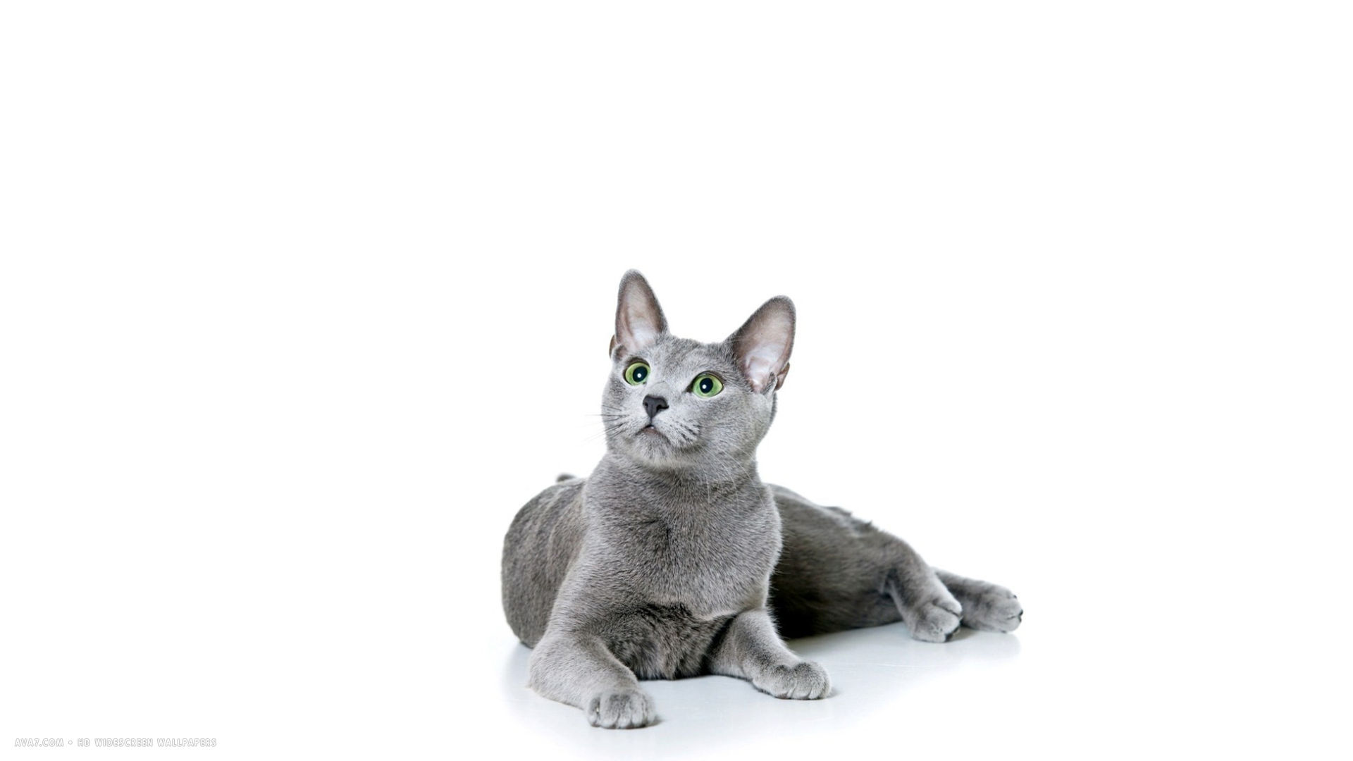 russian blue lying on white background