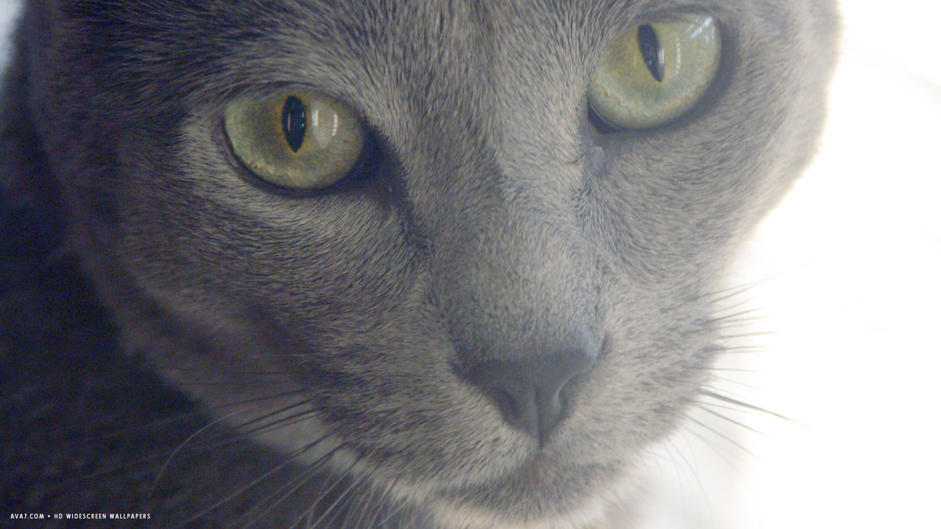 russian blue male
