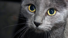 russian blue royal look wallpaper