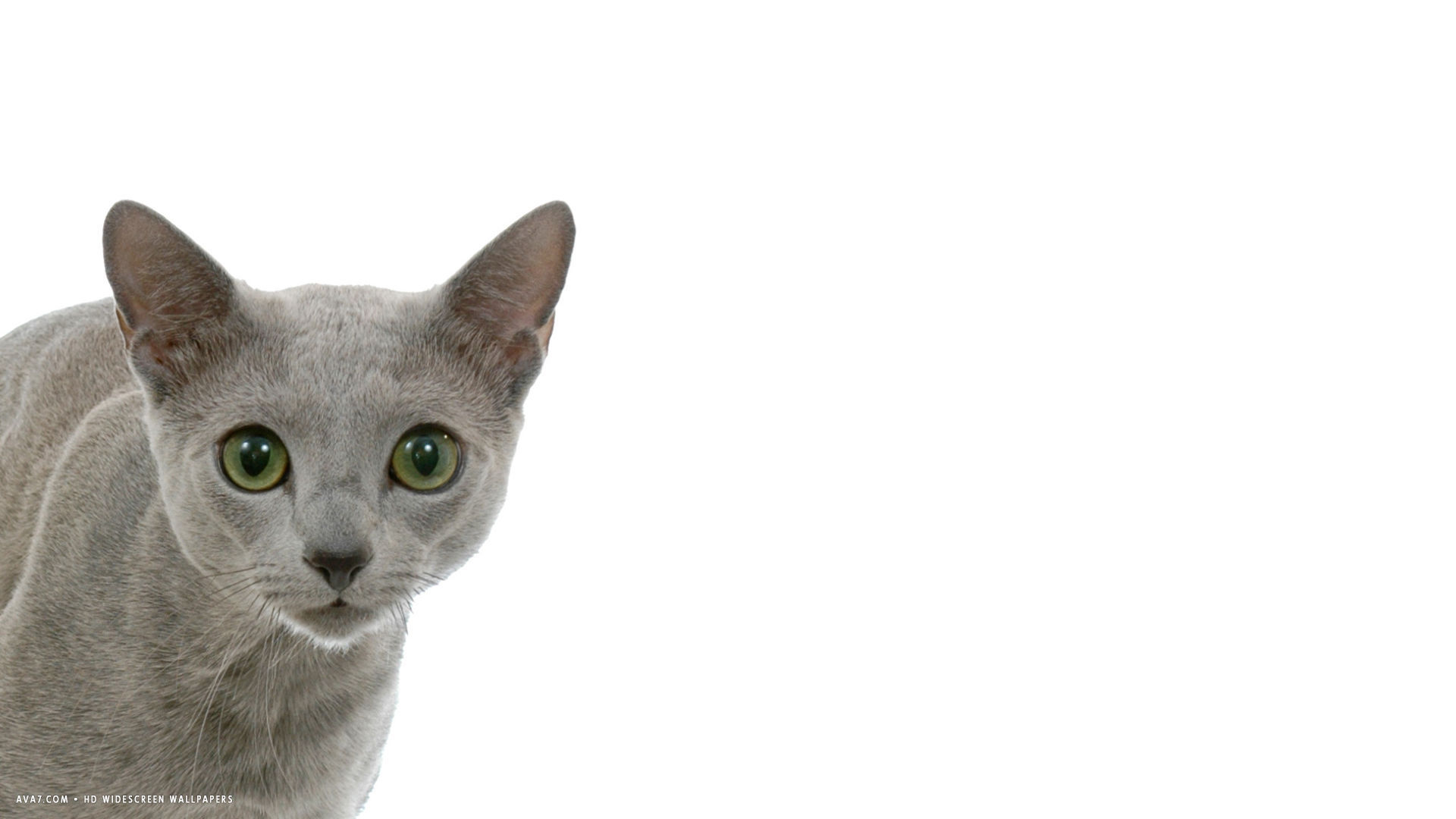 silver rb cat 1920x1080 desktop wallpaper