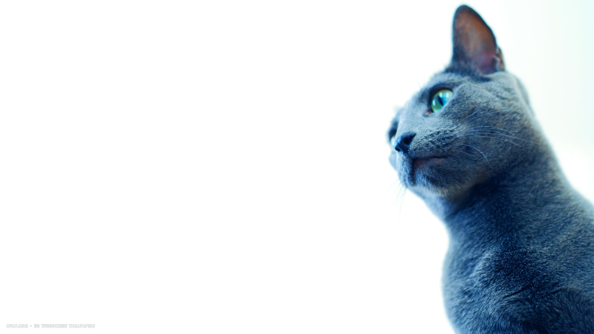 white background russian blue cat 1920x1080