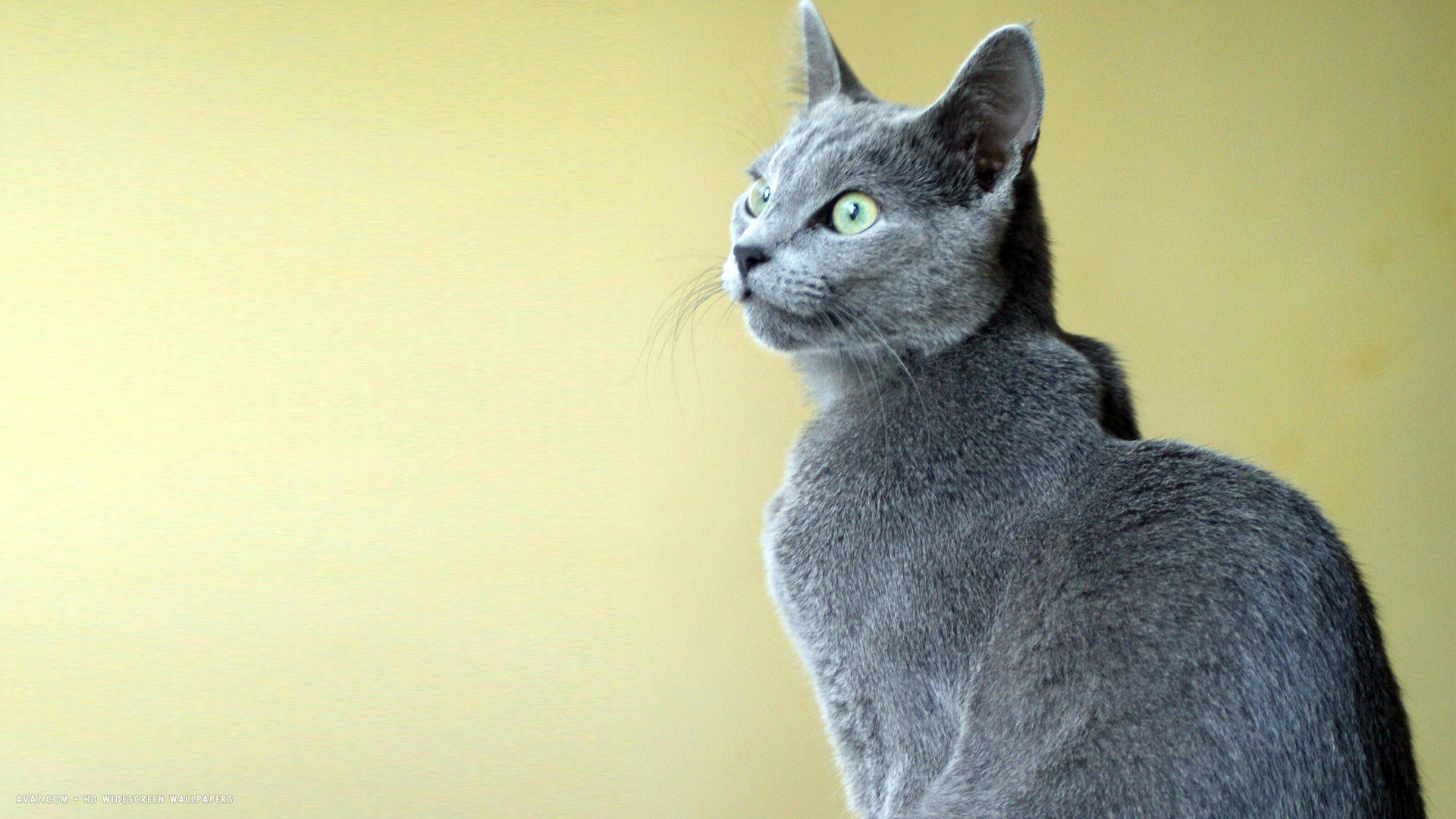 yellow bg russian blue cat hd | russian blue cat hd