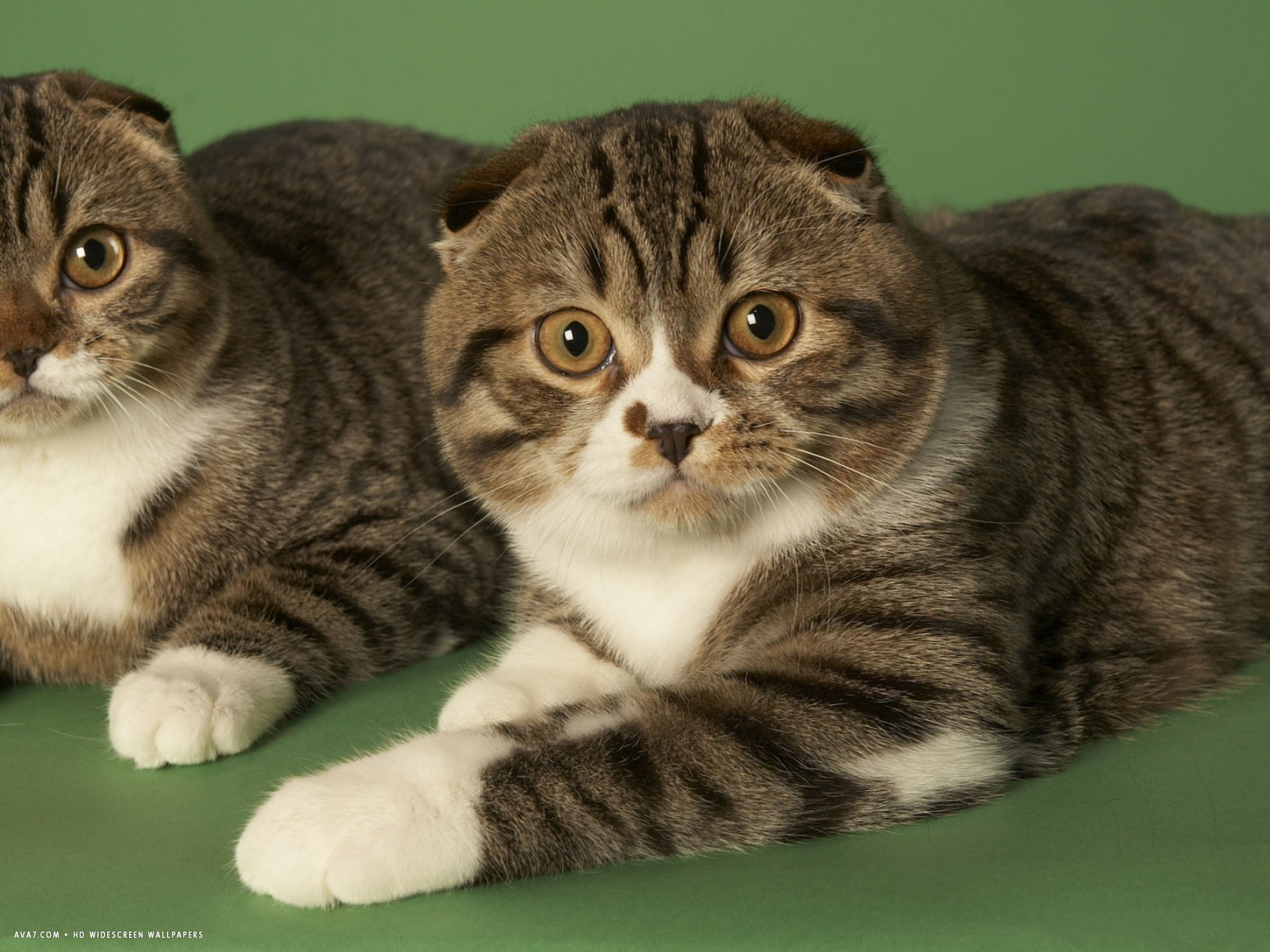cat scottish fold background