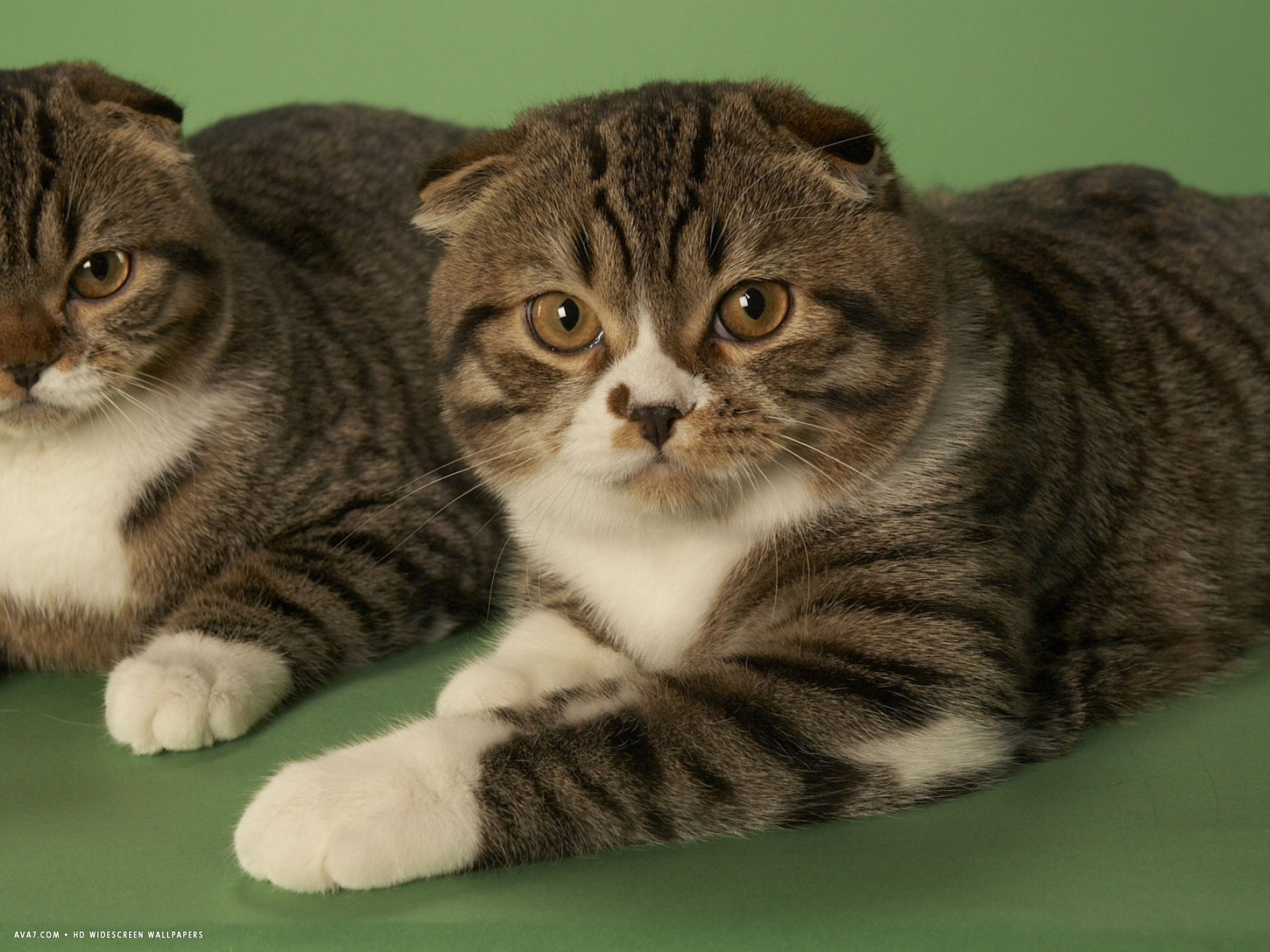 cat wallpaper scottish fold