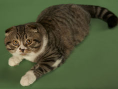 scottish fold 10
