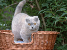scottish fold blue cream cat