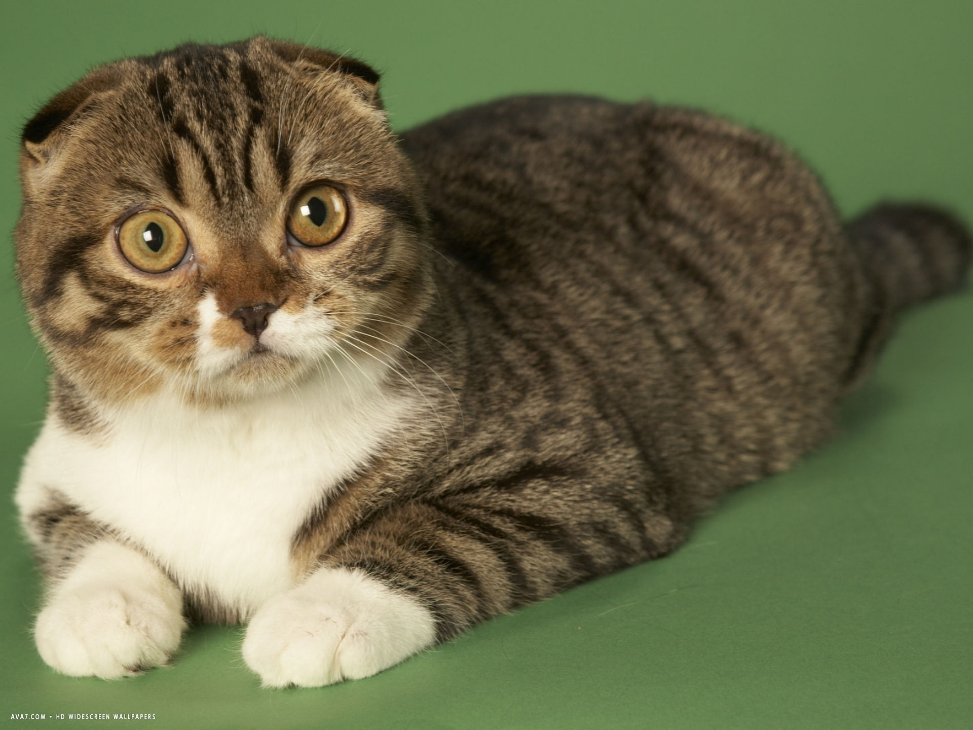 scottish fold cat hd