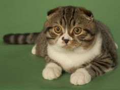 scottish fold hd wallpaper