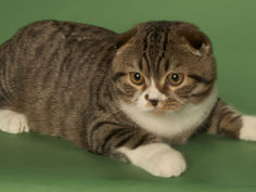 scottish fold wallpaper