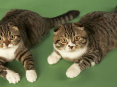 wide wallpaper scottish fold