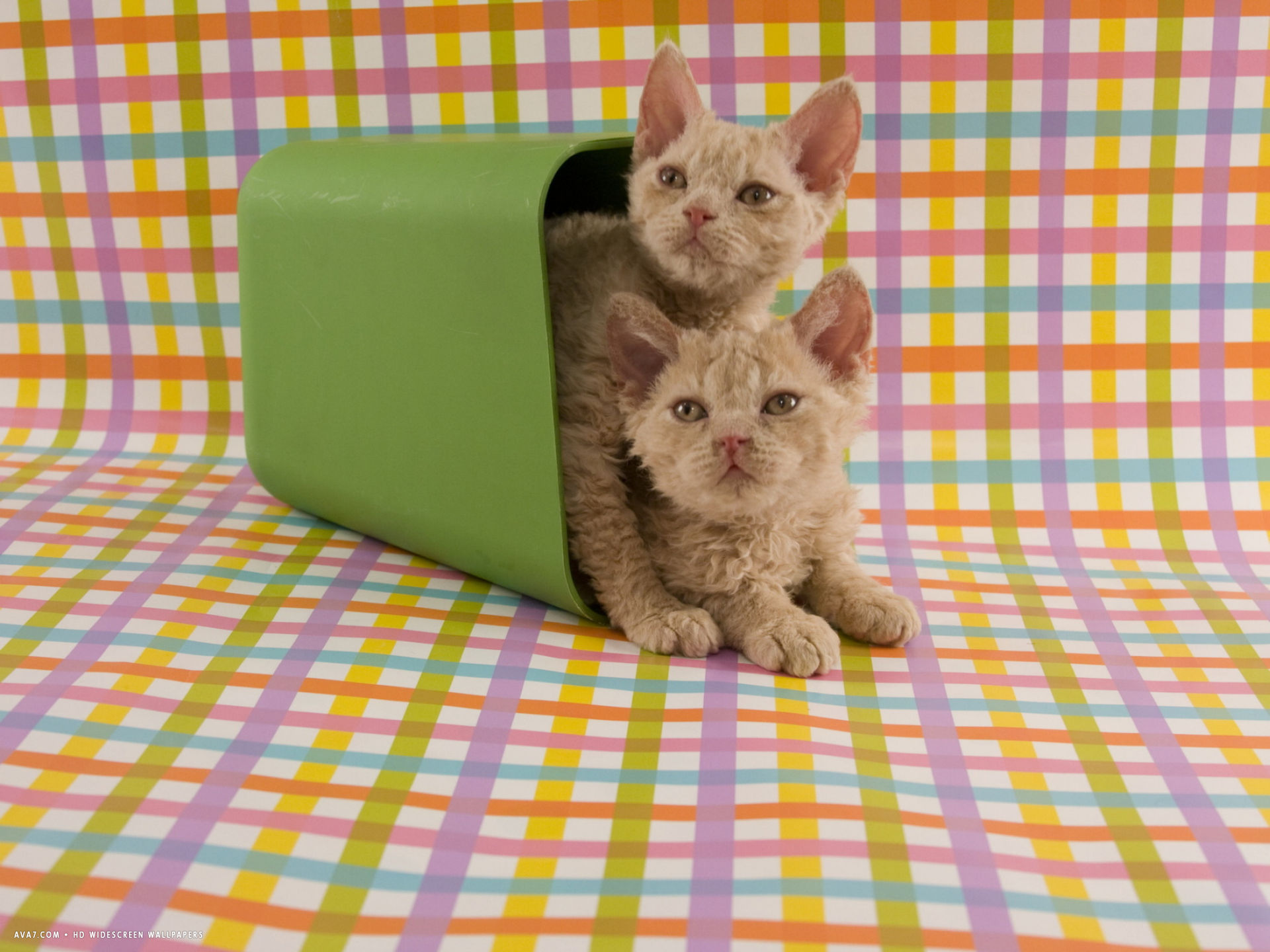selkirk rex wallpaper