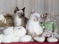 siamese cat kittens with stuffed animals