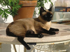 siamese cat resting on table top