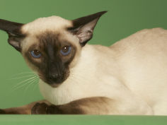 siamese hd wallpaper