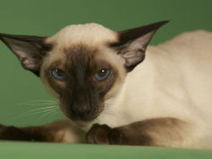 siamese wallpaper