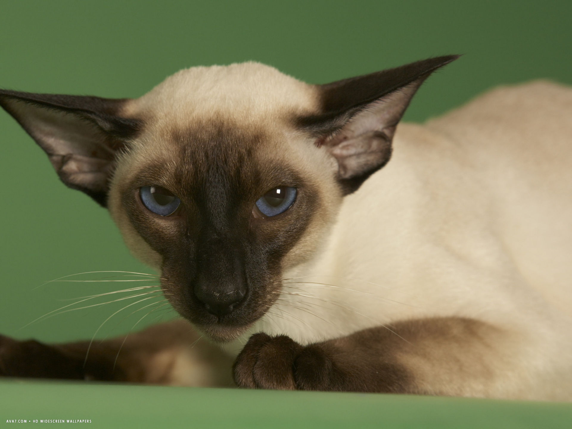 Siamese Wallpaper Siamese Cat Hd Widescreen Wallpapers