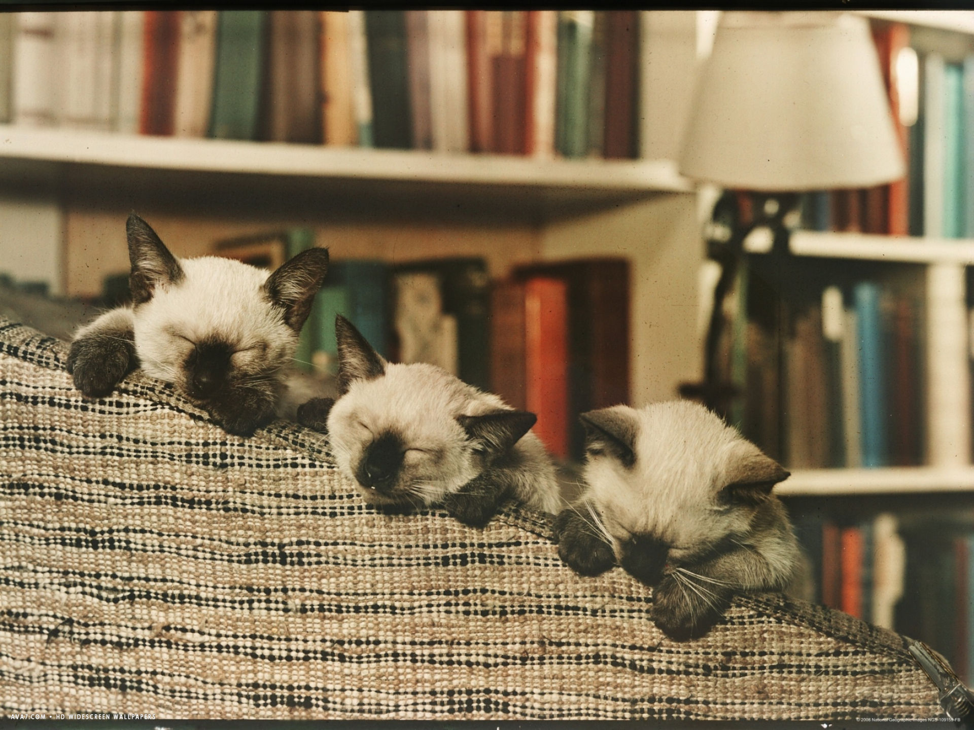 three siamese kittens take a nap