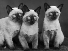 three sweet siamese kittens sitting together