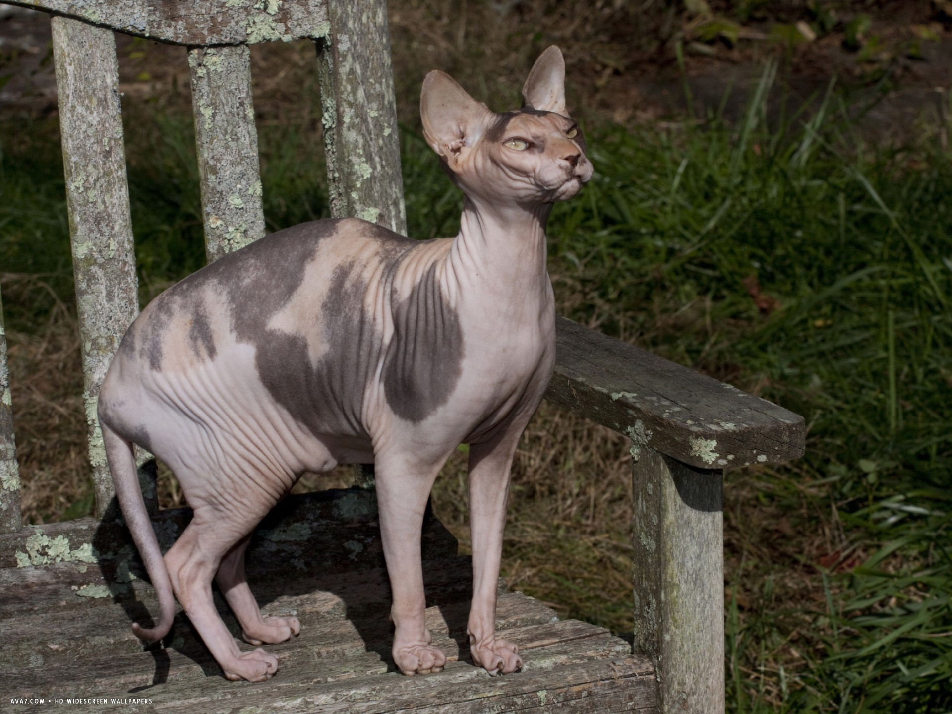 hairless sphynx cat pure breed
