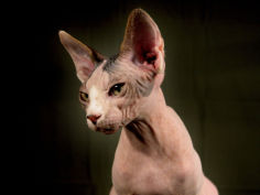 young hairless sphinx cat