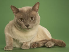 cat tonkinese background