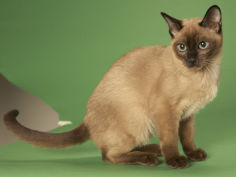 cat wallpaper tonkinese