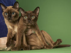 tonkinese cat hd