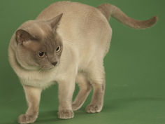 tonkinese desktop wallpaper