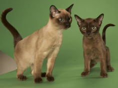 tonkinese hd wallpaper