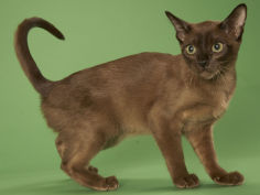 tonkinese widescreen wallpaper