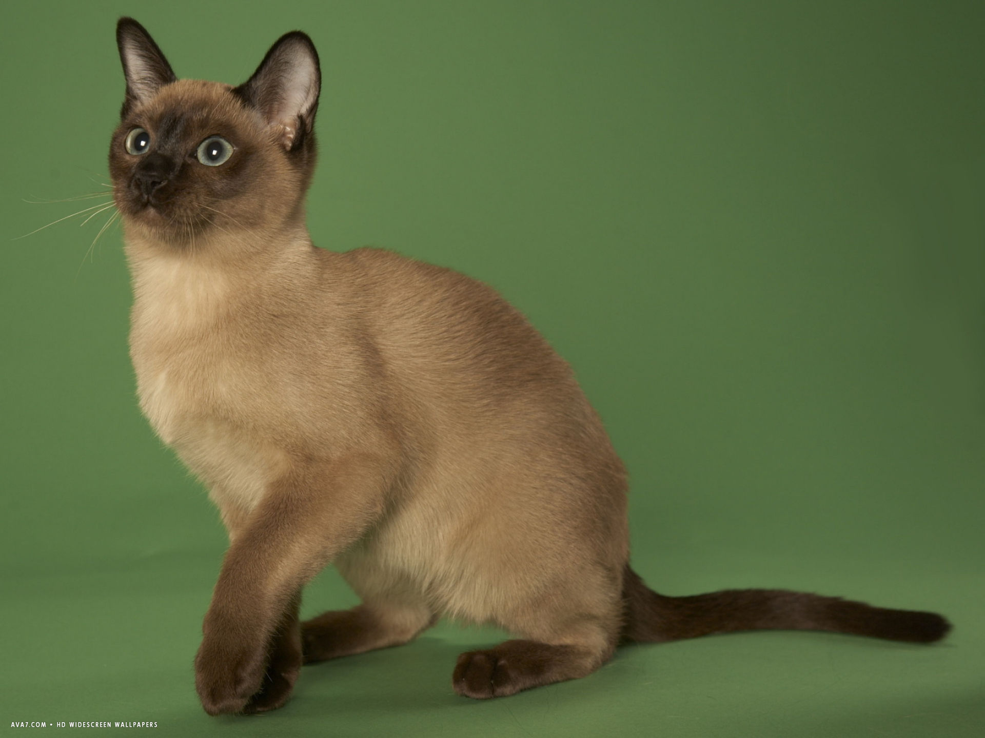 tonkinese widescreen