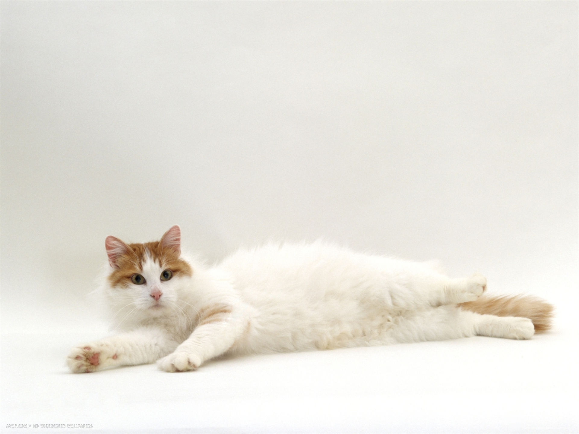 domestic cat auburn white turkish van female