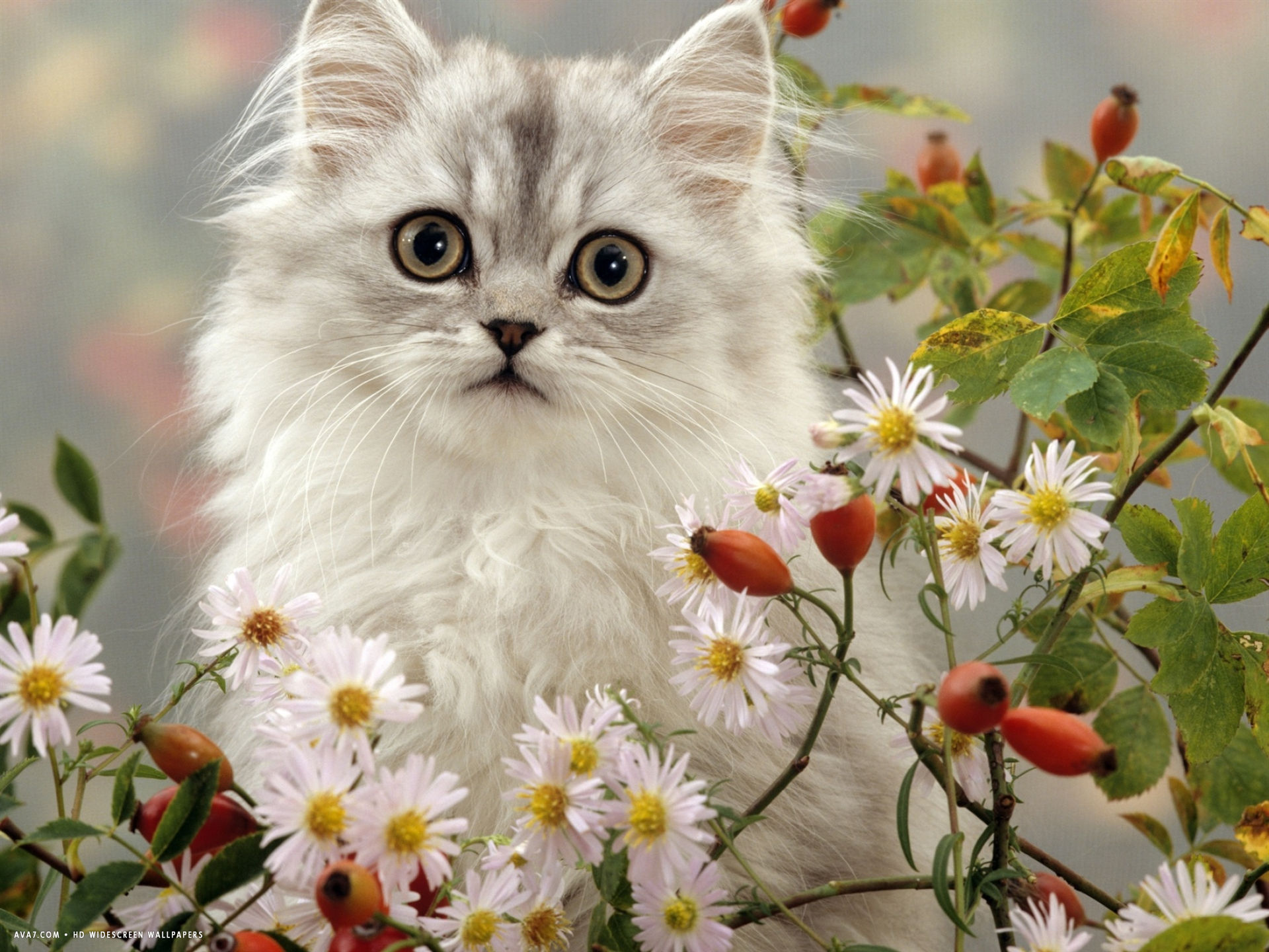 turkish van kitten among dasies and rose hip