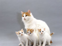 turkish van mother with three kittens