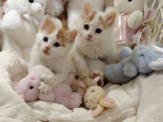 two turkish van kittens with soft toys in crib